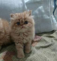 Gato persa macho creme