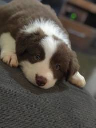 Filhote de Border Collie PURO
