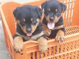 Título do anúncio: Lindos Filhotes de Rottweiler