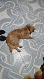 Doa-se cachorro,Smoushond holandês muito docil,2 anos de idade