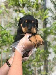 Rottweiler, compre sua fofura com suporte vet gratuito