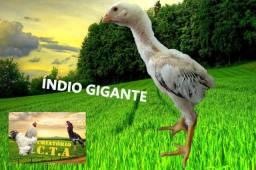 Índio gigante 35 Dias