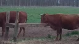 18 vacas