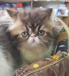 Gatos persas fêmea 3 meses