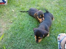 Filhotes de Beagle com Americano