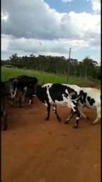 Vacas d leite