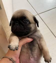 Black Friday Dog - vendo Filhote de Pug. Pedigree opcional