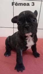 Lindos bebês de Bulldog Francês