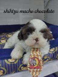 Título do anúncio: Adorável filhote de Shih tzu macho