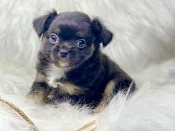 Baby de Chihuahua com pedigree disponível