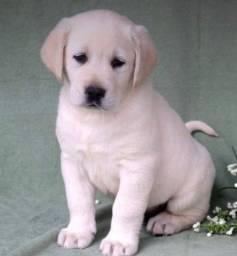Labrador Filhote com Pedigree e Microchip