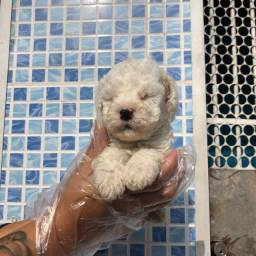 Poodle - todas as garantias de saude - whats * Sabrina