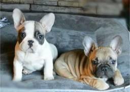 Título do anúncio: Bulldogs Francês Filhote com Pedigree e Microchip