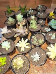 Vieira 's plantas