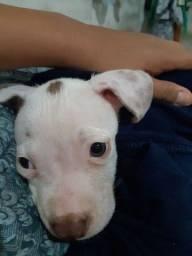 Filhote de pitbull fêmea 300 reais