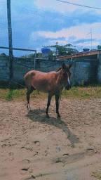 Vendo  cavalo machado