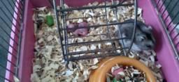 Hamster Chinês anão russo