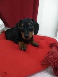 Título do anúncio: Basset dachshund macho