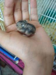 Filhote de hamster anao russo