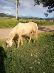 Vendo baio ruano crioulo top de laco cavalo muito manso pra iniciantes no esporte!