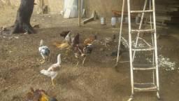 Vendo um galo índio gigante, 03 frangos e 04 frangas