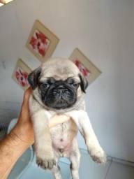 Pug com pedigree R$ 2.000
