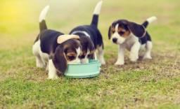 Caes! Beagle Filhote 13 Polegadas com Pedigree + Garantia de Saúde