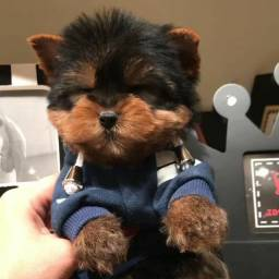 Yorkshire Terrier pequeninos baby faces