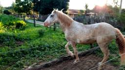 Cavalo apaluza valor 1.500