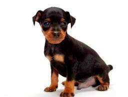 Pinscher miniatura com pedigree em até 10x