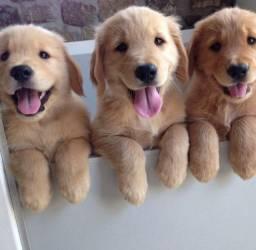 Golden filhotes disponíveis
