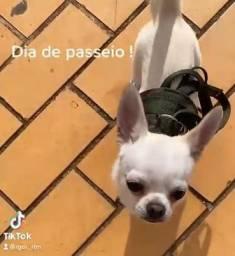 Chihuahua Macho para cobertura