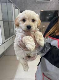 Poodle toy fofinhos com garantia a pronta entrega !!!