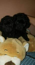 Título do anúncio: Poodle mini anão