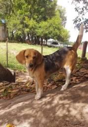 Beagle femia !!!