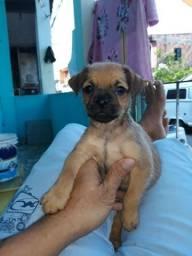 Yorkshire terrier original cruzado com pug