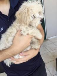 Fêmea Maltês, quatro meses