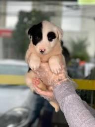 Border Collie - O mais alegre, o mais feliz, o mais divertido dos filhotes e o mais bonito