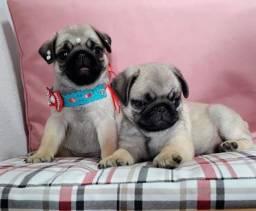 Pug macho com pedigree em 10x sem juros