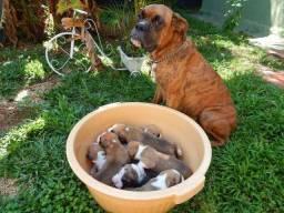 Boxer lindos filhotes