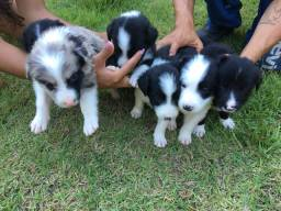 Vende-se filhotes Border Collie