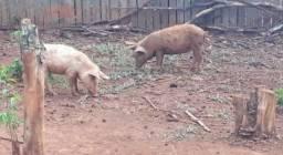 Título do anúncio: Porcos Caipira