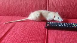 Título do anúncio: Doação de rato twister