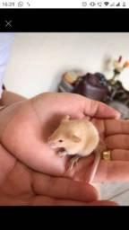 Vendo ratinho Twister,fofos e mansos