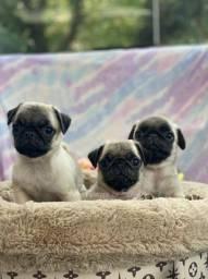 Lindos Pugs - Canil Filhotes da Serra