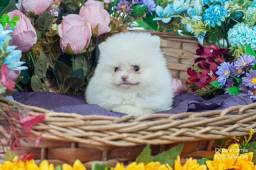 Título do anúncio: Lulu da pomerania filhote disponivel