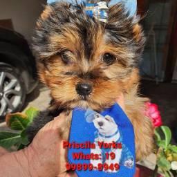 Título do anúncio: Yorkshire Terrier os menores da região