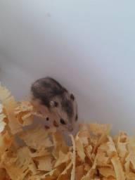 Título do anúncio: Doação de Hamster Anão Russo