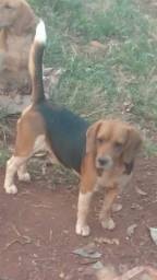 Lindos Beagle