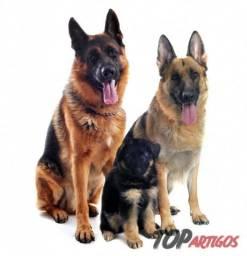Recebo Adoção De Cachorro Pastor Alemão